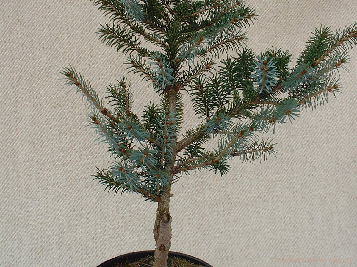 Picea bicolor 'Howell's Dwarf Tigertail'