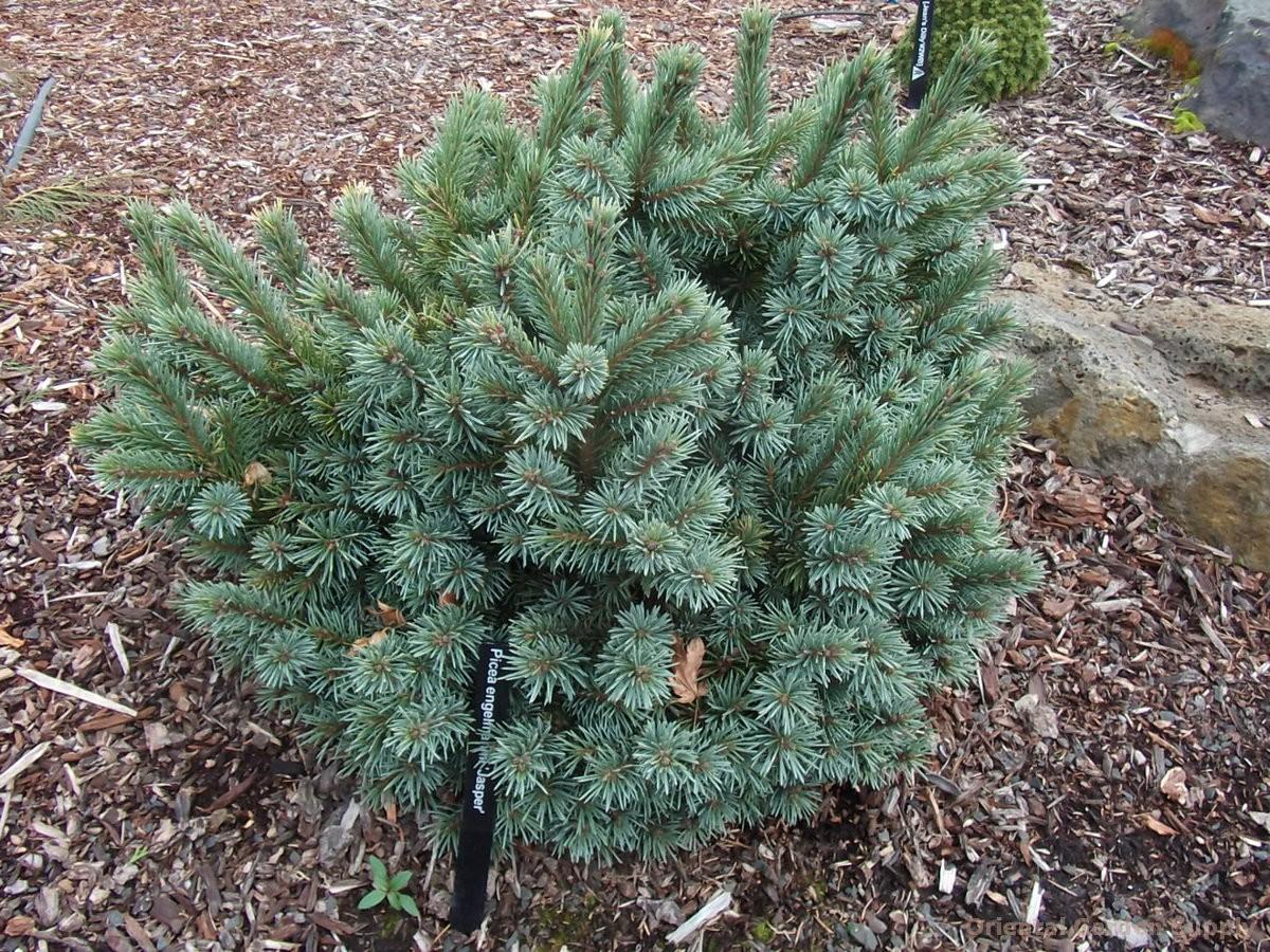 Picea engelmannii 'Hexenbesen Jasper'