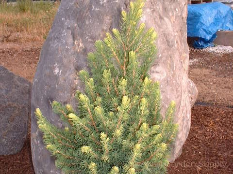 Picea glauca 'Albertina Conica'