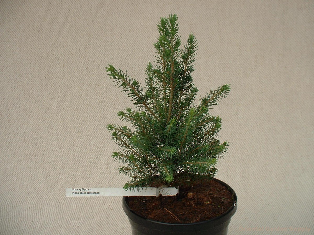 Picea glauca 'Butterball'