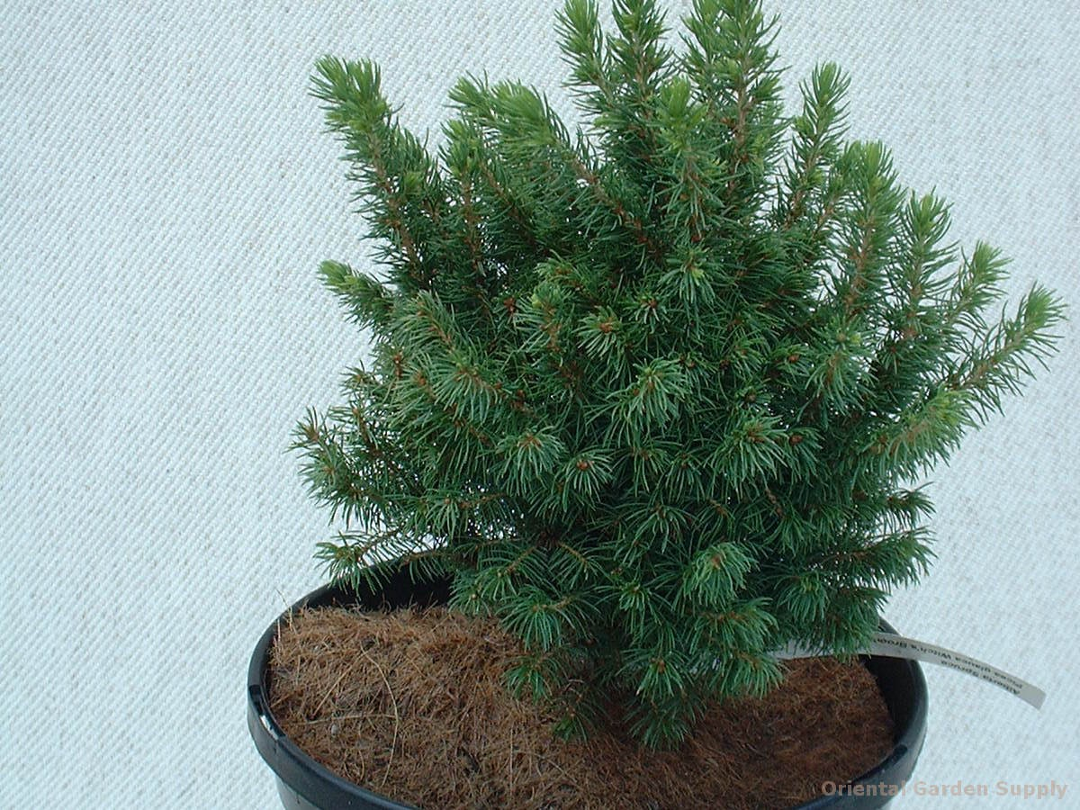 Picea glauca 'Witch's Broom'
