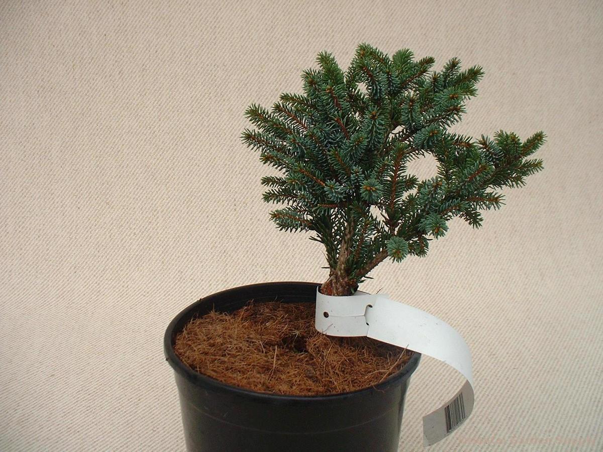 Picea jezoensis 'Chitosa Nana'