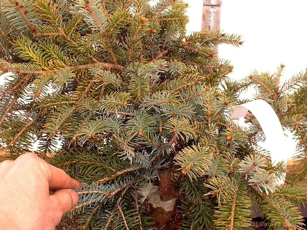 Picea jezoensis 'Hondoensis'