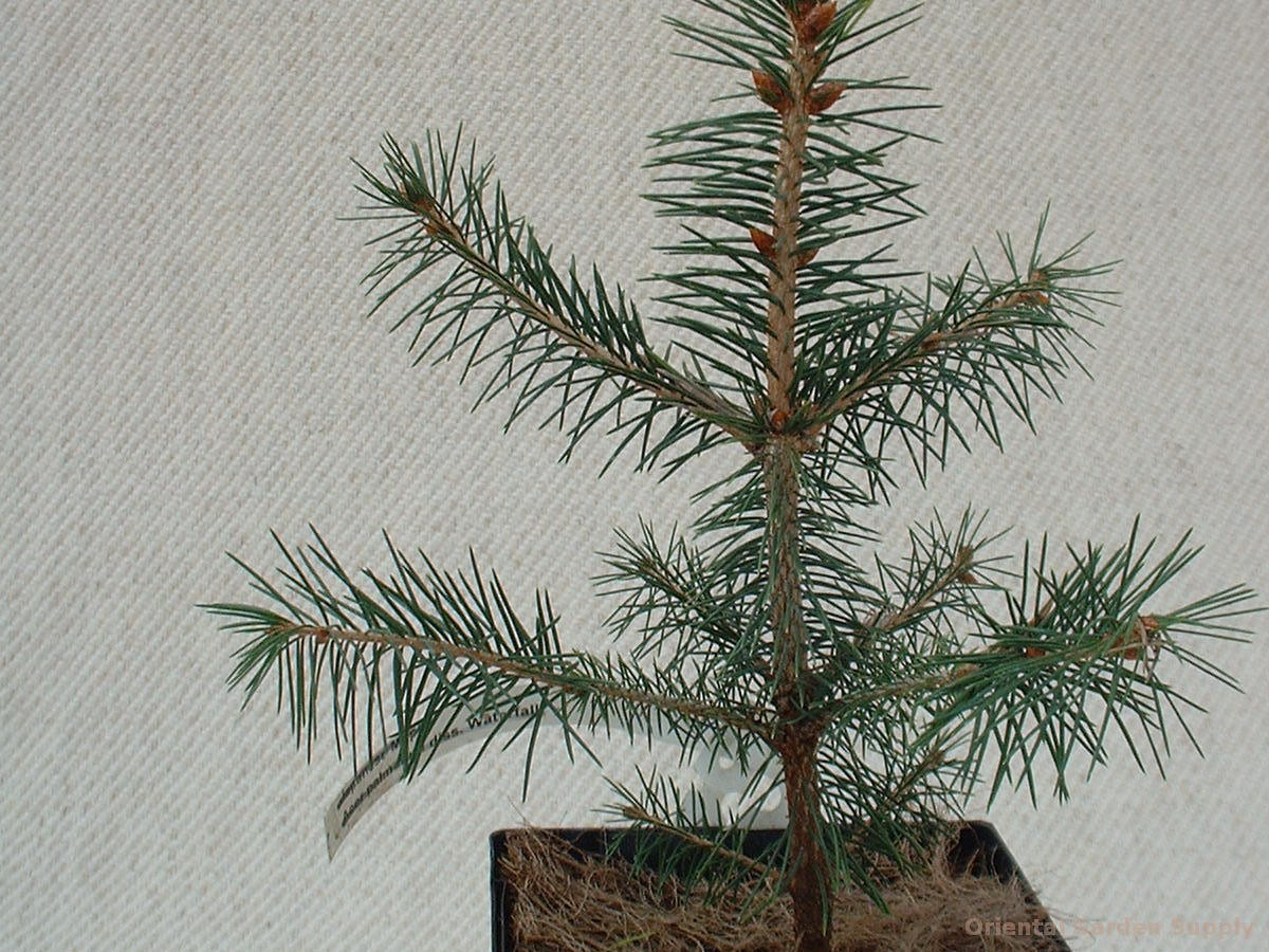 Picea kogami