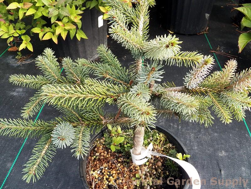 Picea mariorika 'Machala'