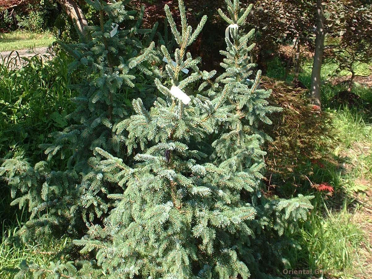 Picea omorika 'Glauca'