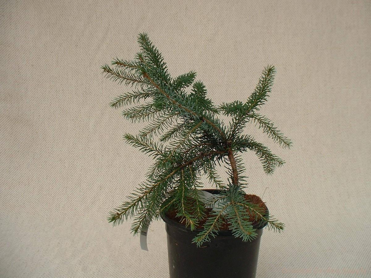 Picea omorika 'Pancake'
