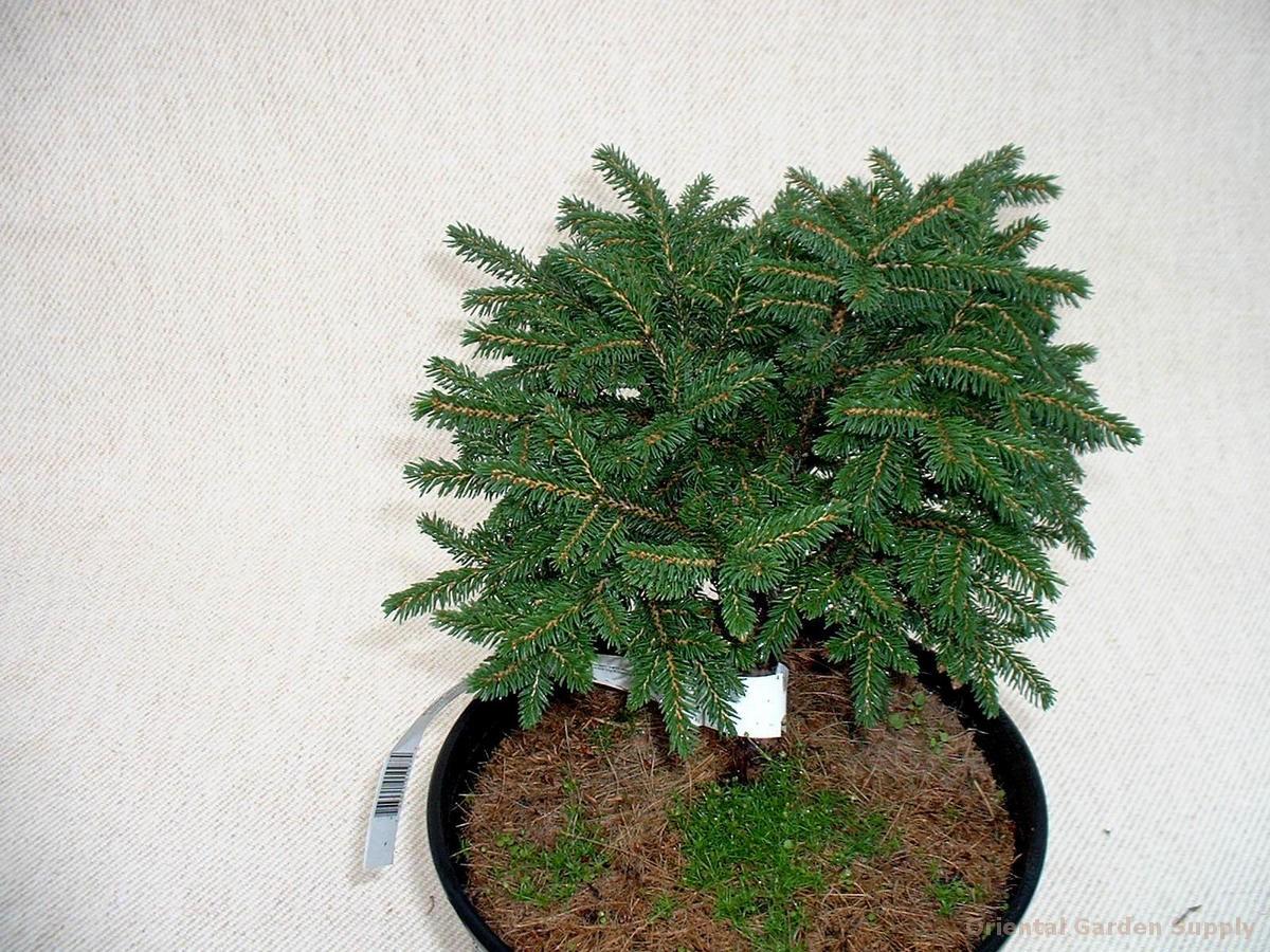 Picea orientalis 'Bergman's Gem'