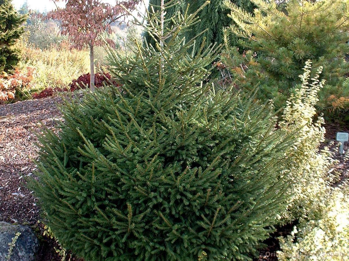 Picea orientalis 'Compacta'