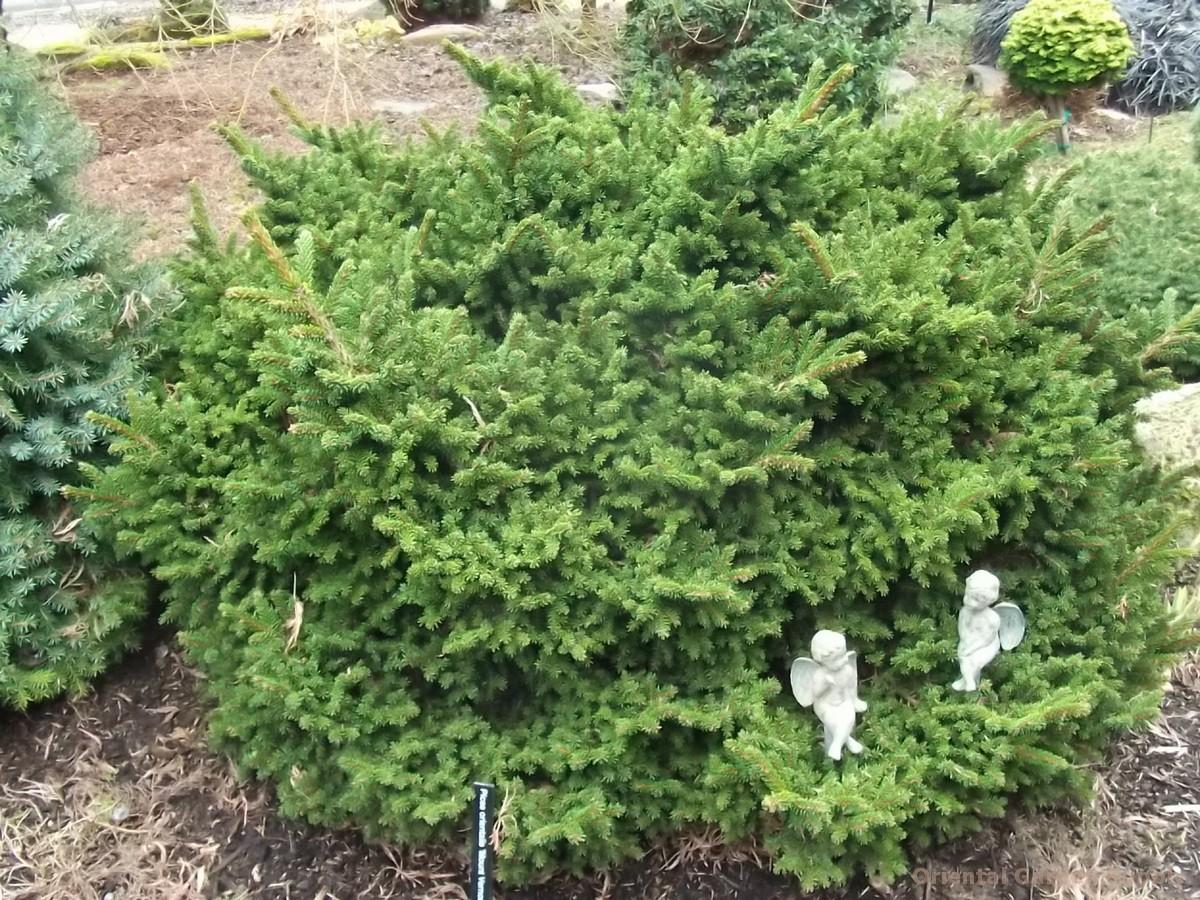 Picea orientalis 'Mt. Vernon'