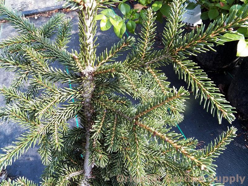 Picea orientalis 'Nutans'