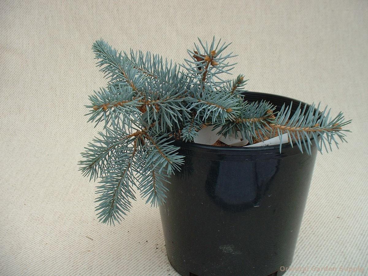 Picea pungens 'Glauca Prostrata'