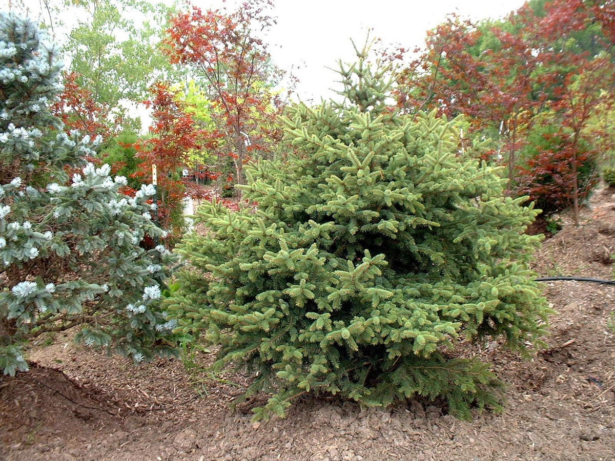 Picea pungens 'Gold Find'