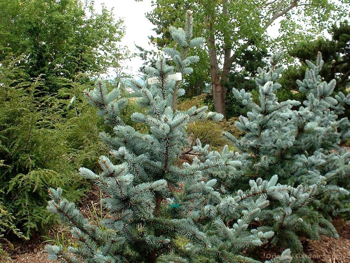Picea pungens 'Hoopsi'