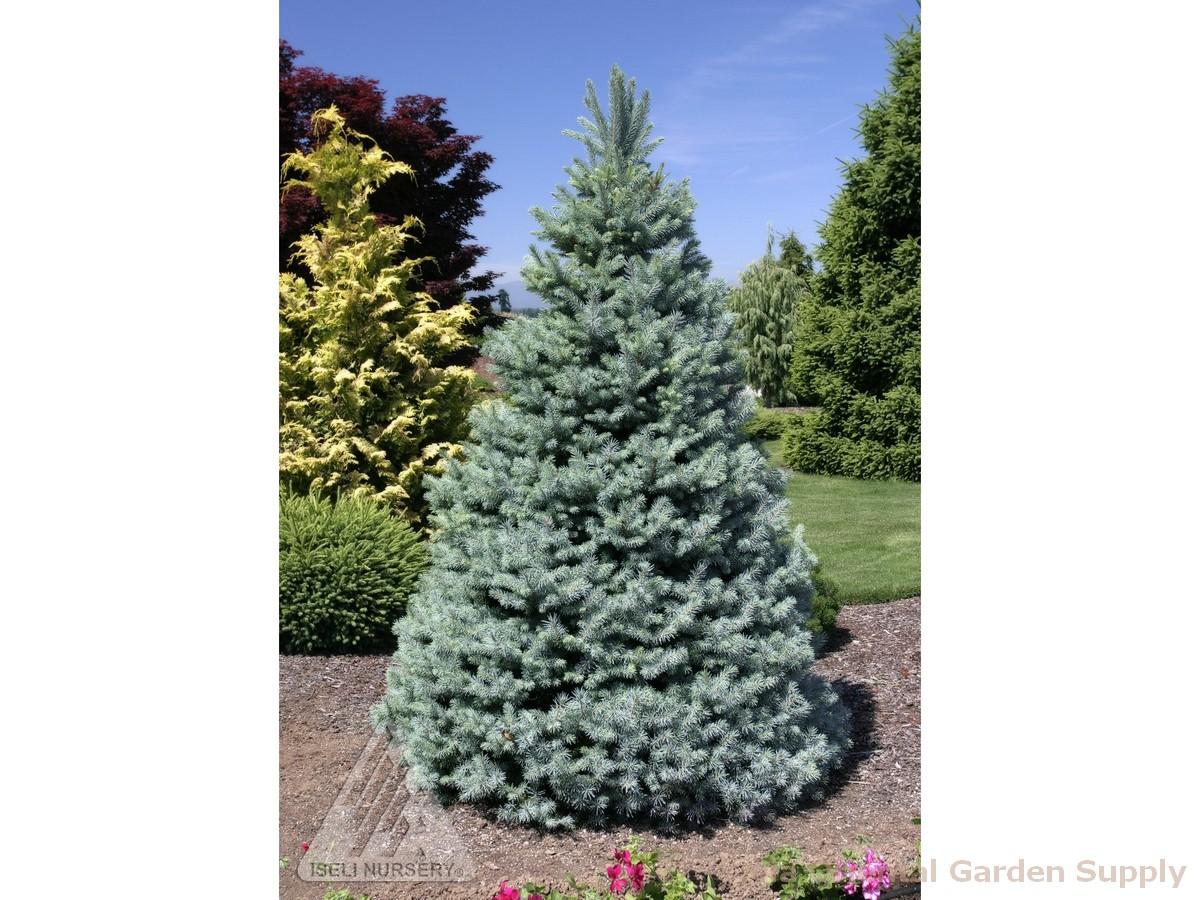 Picea pungens 'Sester Dwarf'