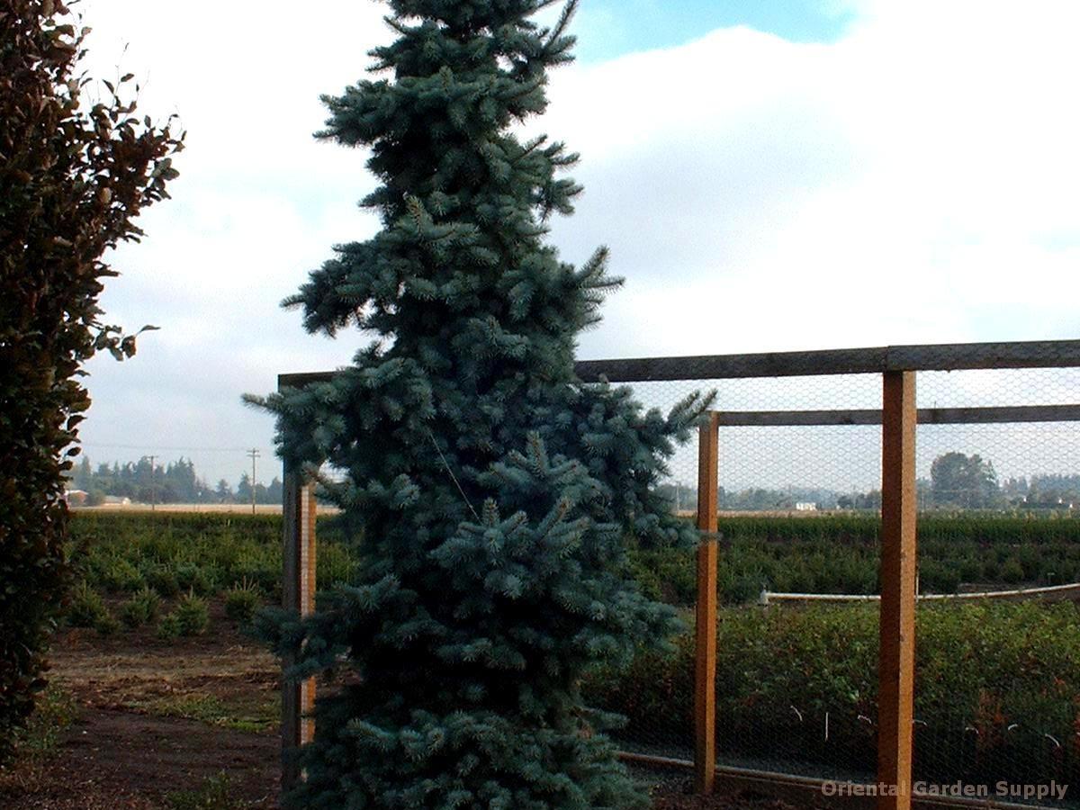 Picea pungens 'Shilo'