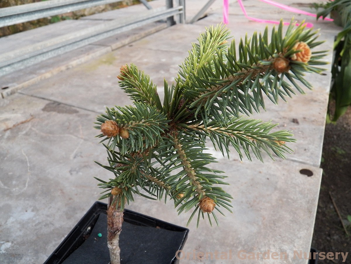 Picea pungens 'Stanley's Gold'