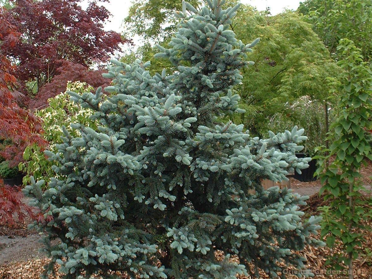 Picea pungens 'Thompsen'