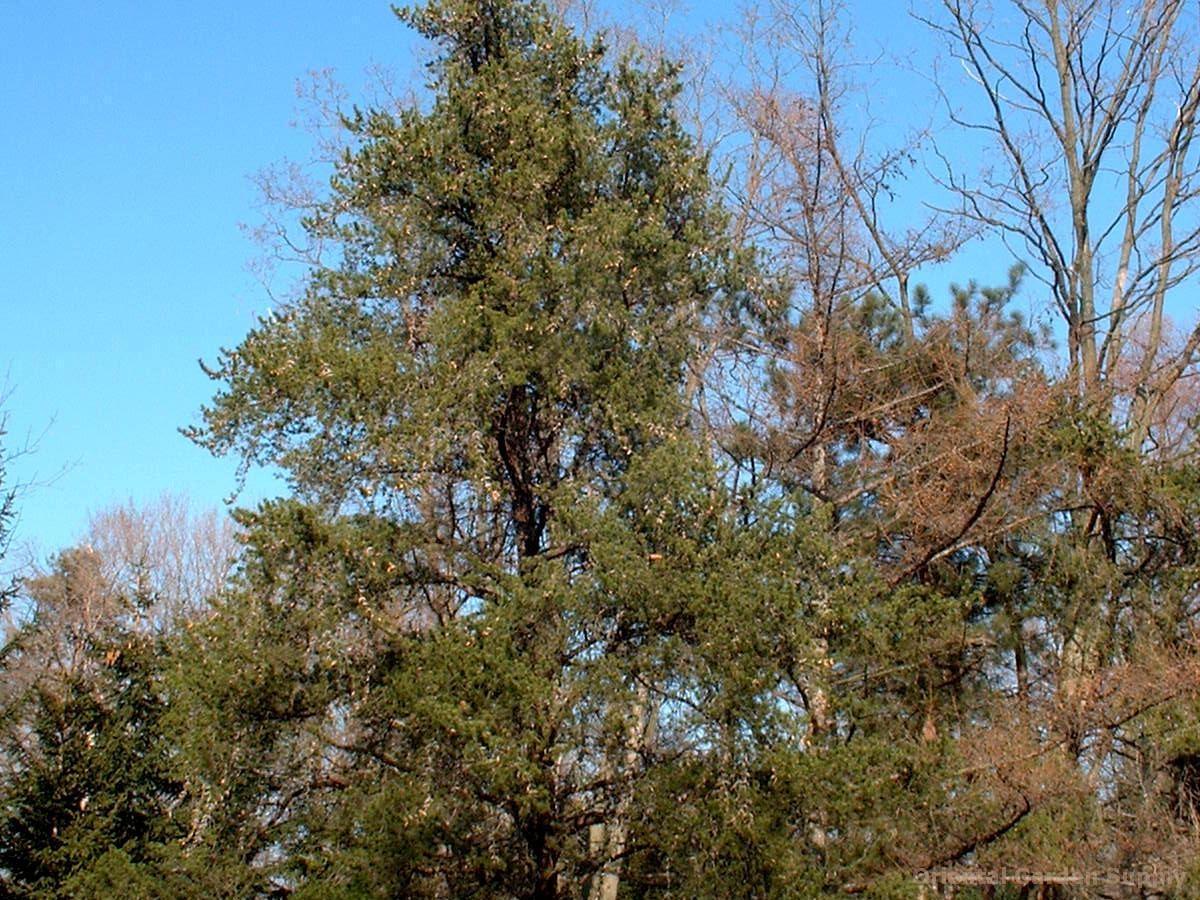 Pinus banksiana