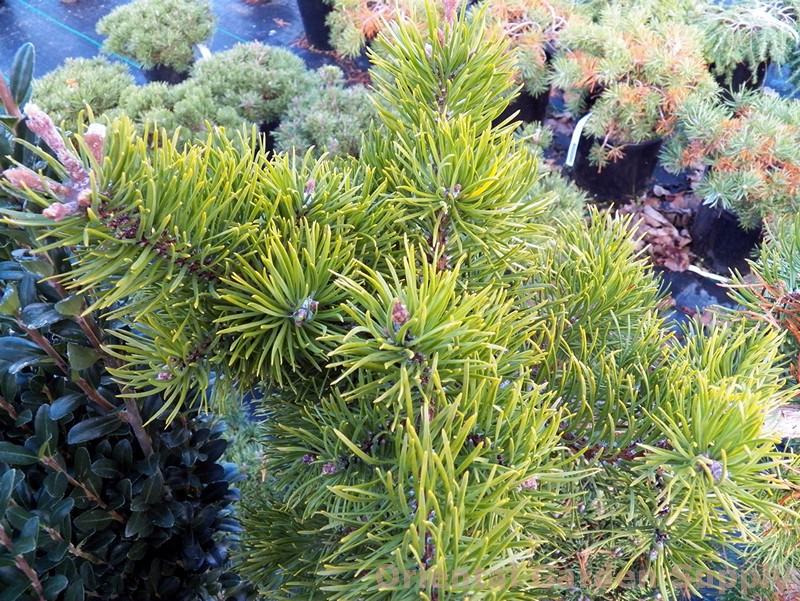 Pinus banksiana 'Bush's Twister'