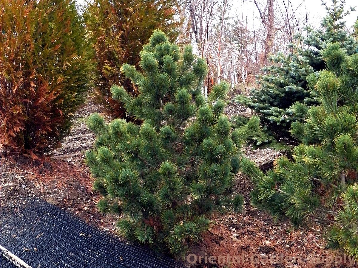 Pinus cembra 'Glauca'
