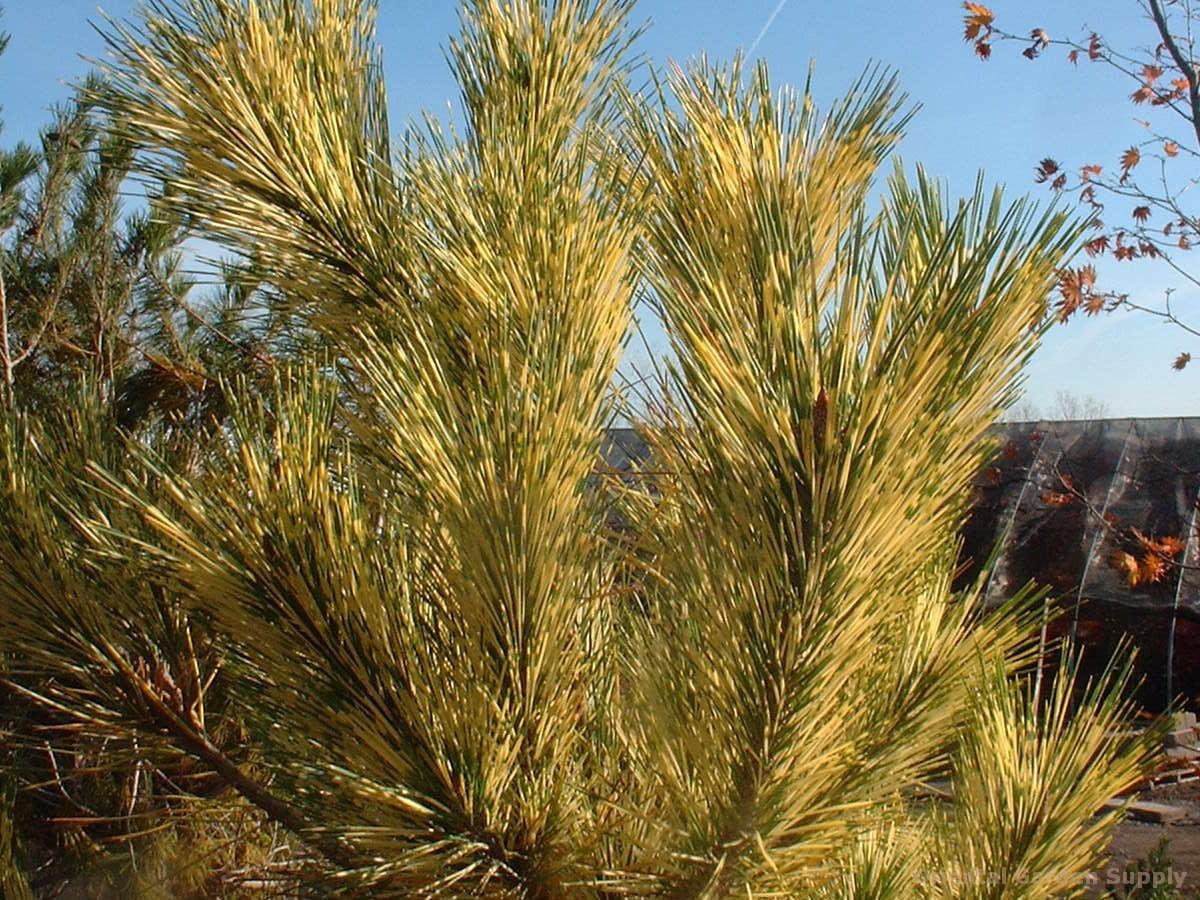 Pinus densiflora 'Oculis Draconis'