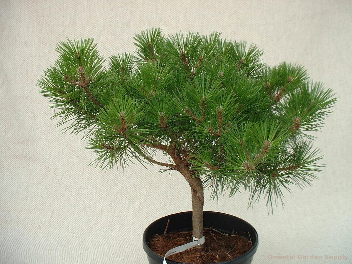 Pinus densiflora 'Pierrick Bregeon'