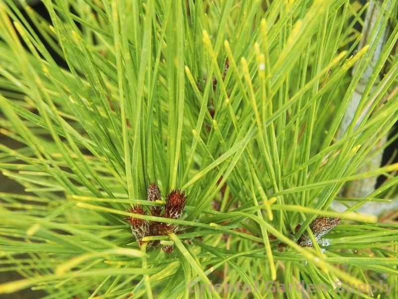 Pinus densiflora 'Aurea'