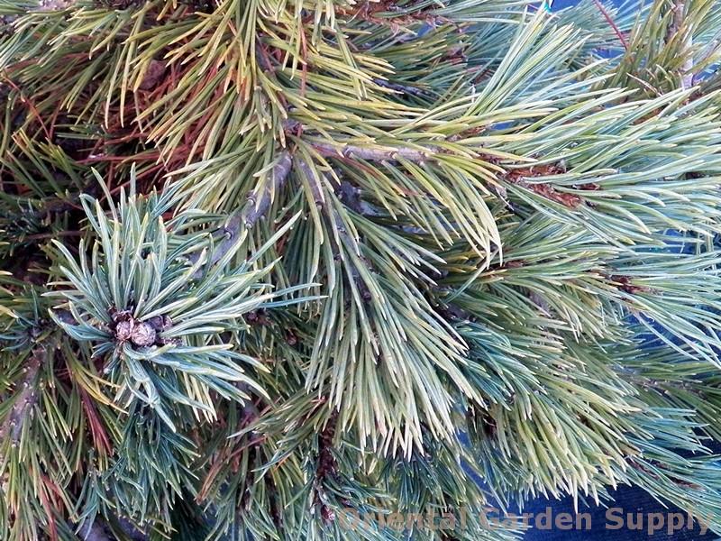 Pinus flexilis 'Long Arm'
