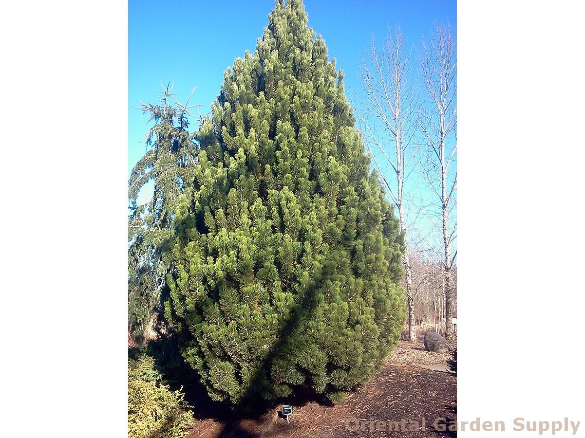 Pinus heldrechii 'Compact Gem'
