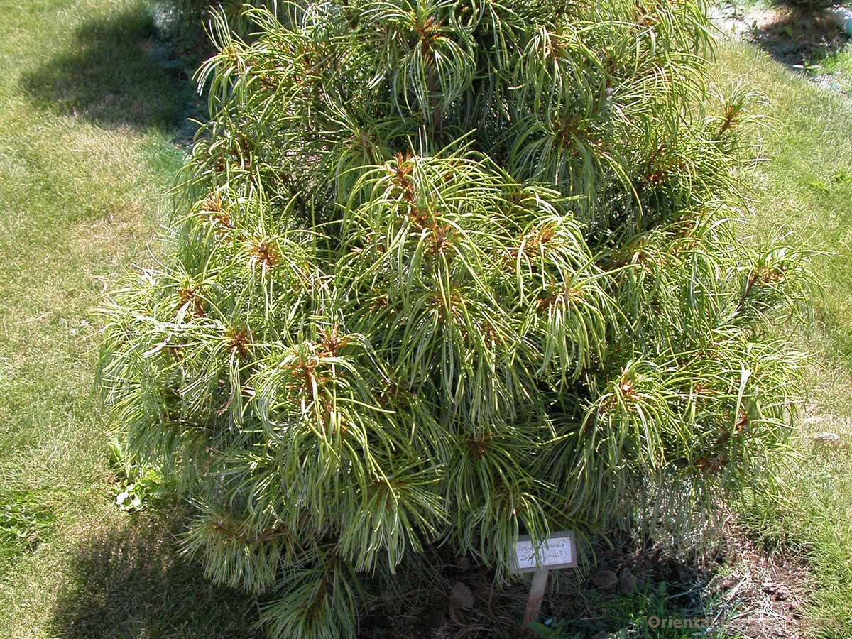 Pinus koraiensis 'Jack Korbit'