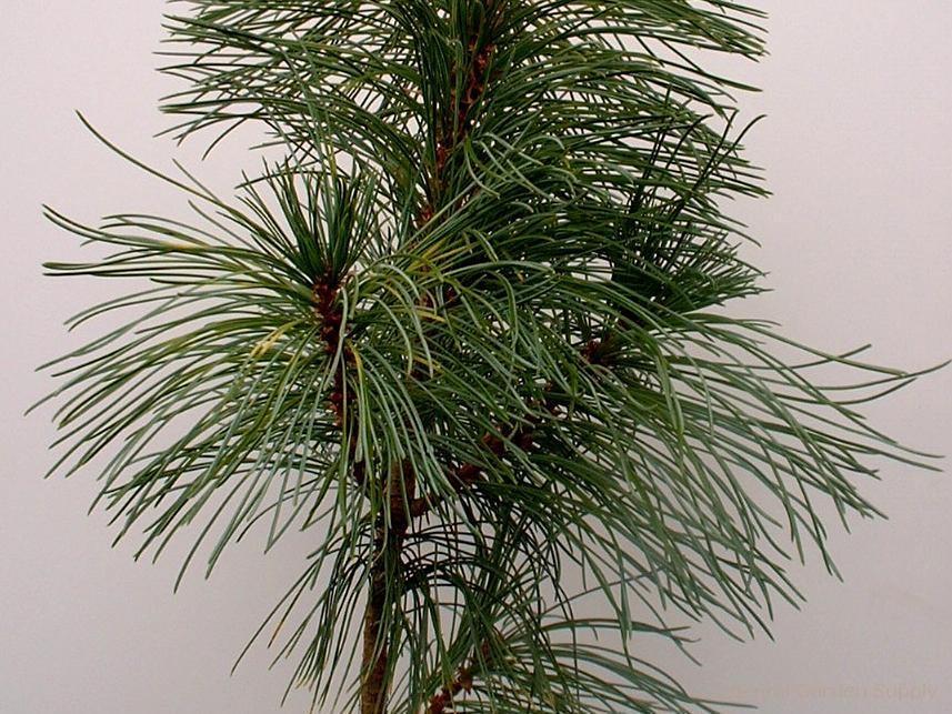 Pinus koraiensis 'Tabuliformis'