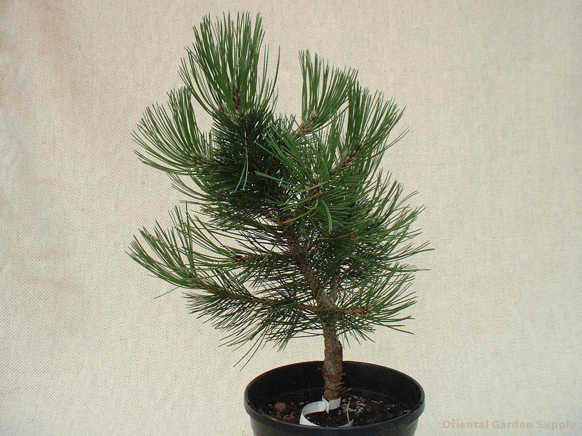 Pinus leucodermis 'Gnome'
