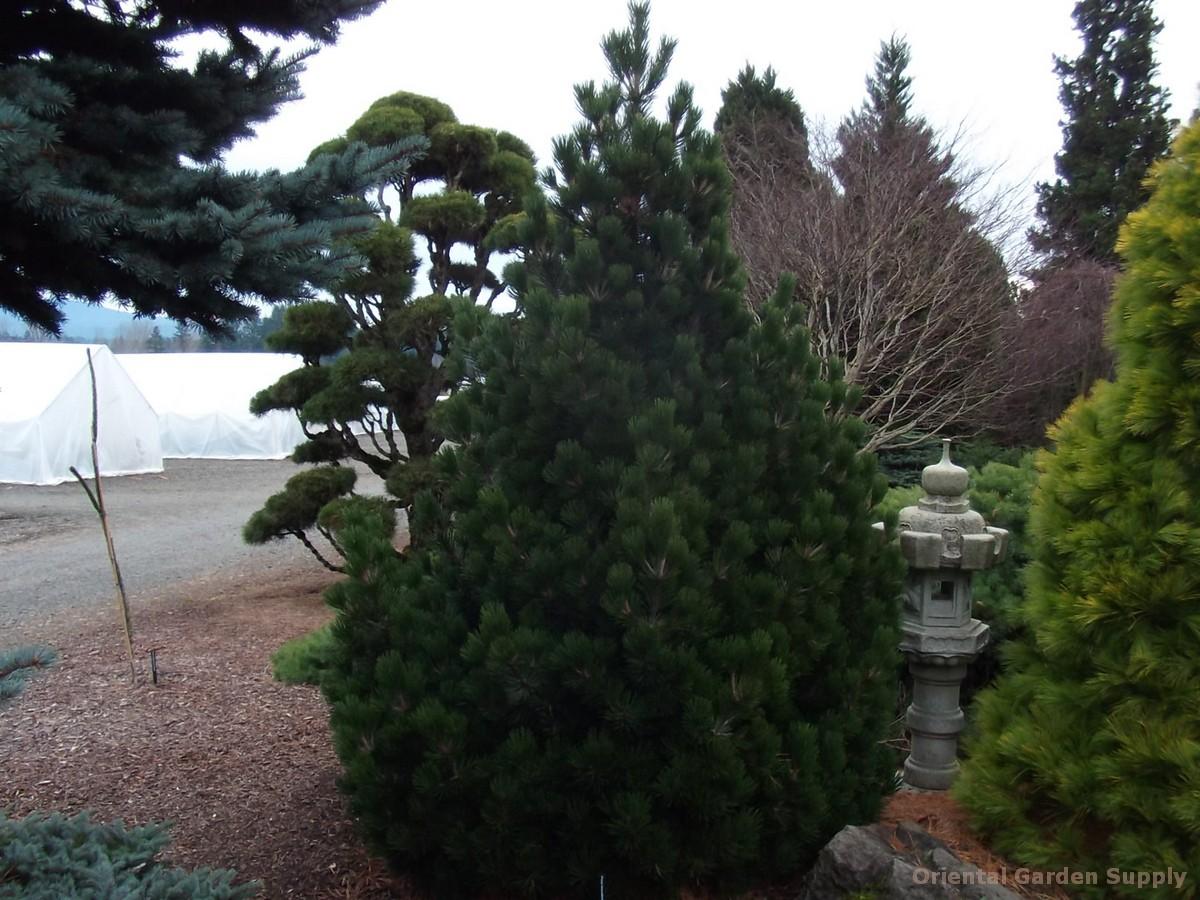 Pinus leucodermis 'Irish Bell'