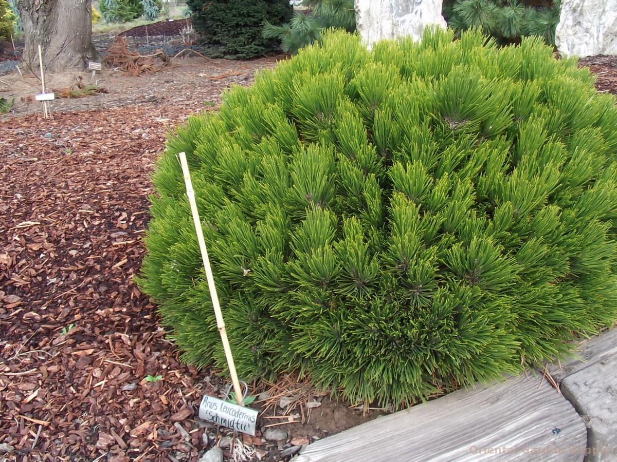 Pinus leucodermis 'Schmidtii'