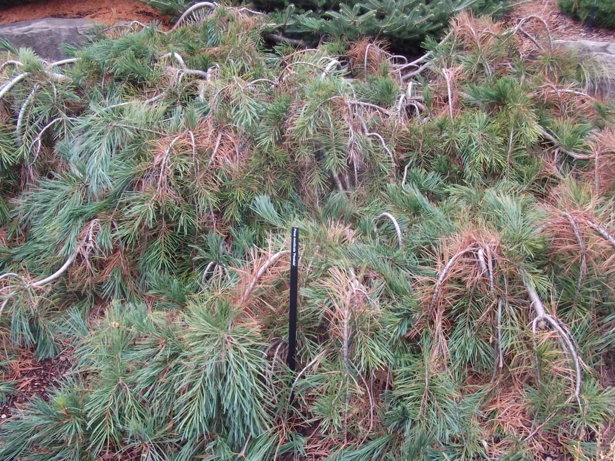 Pinus monticola 'Pendula'