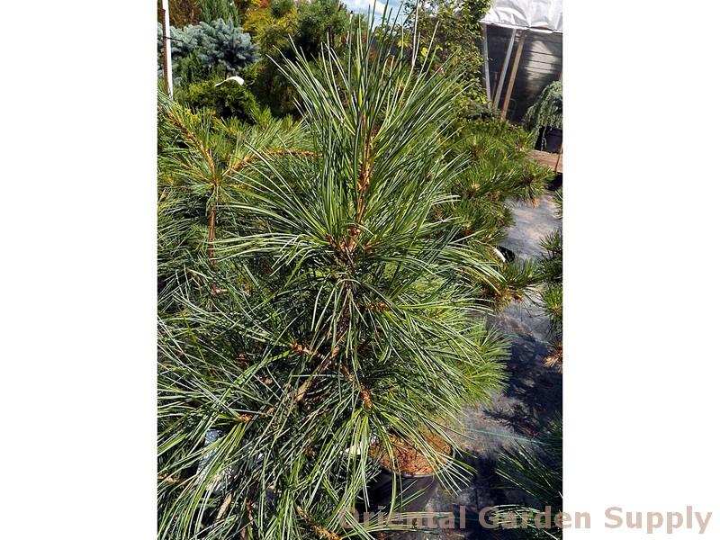 Pinus monticola 'Snow White'