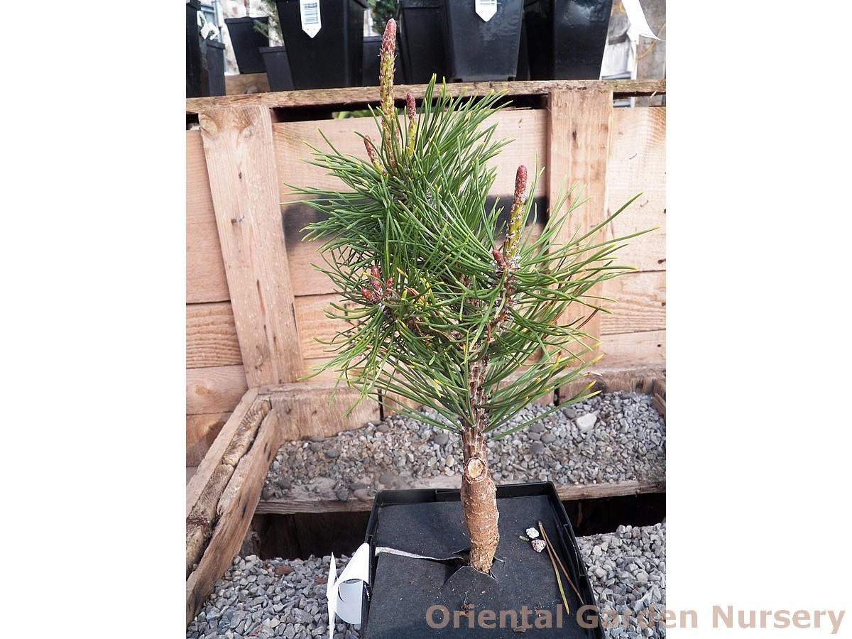 Pinus mugo 'Amber Gold'