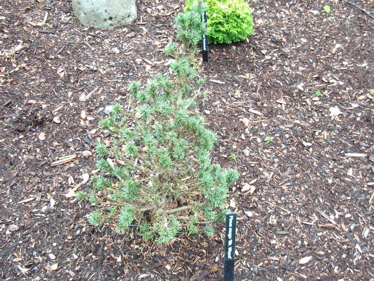 Pinus mugo 'Mr. Wood'