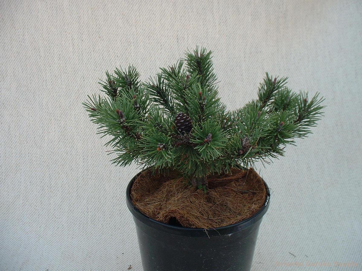Pinus mugo 'Prostrata'