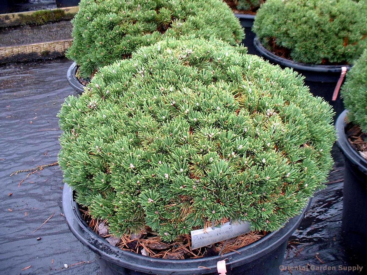 Pinus mugo 'Sherwood's Compact'