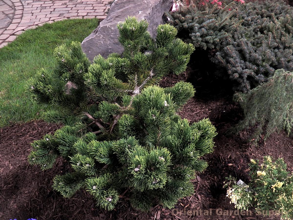 Pinus mugo 'Jakobsen'