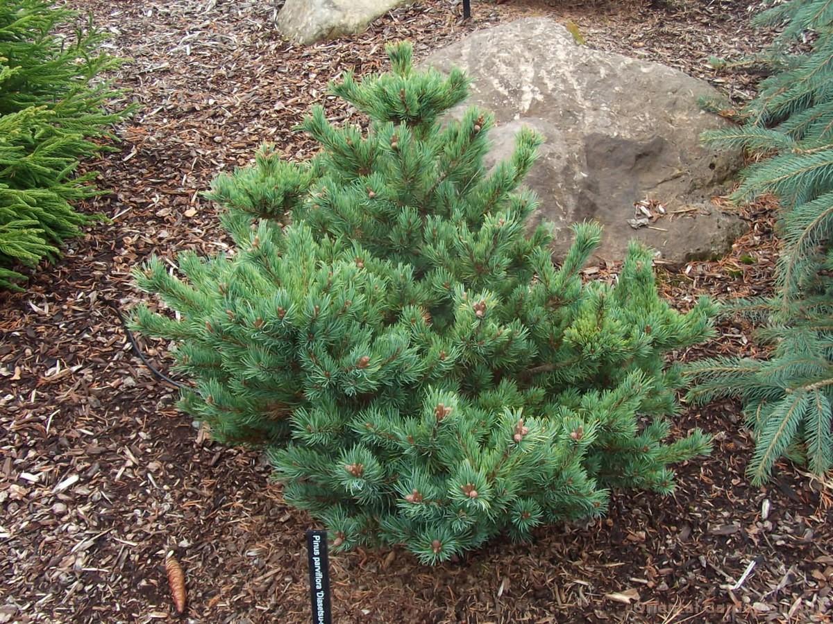 Pinus parviflora 'Diaset Susan'