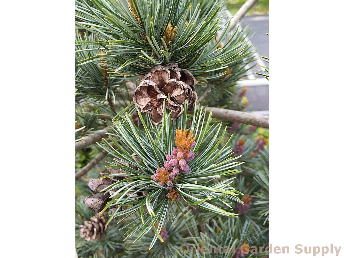 Pinus parviflora 'Gin setsu'
