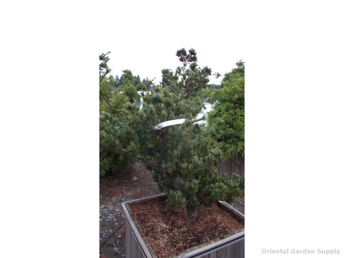Pinus parviflora 'Miyajima'