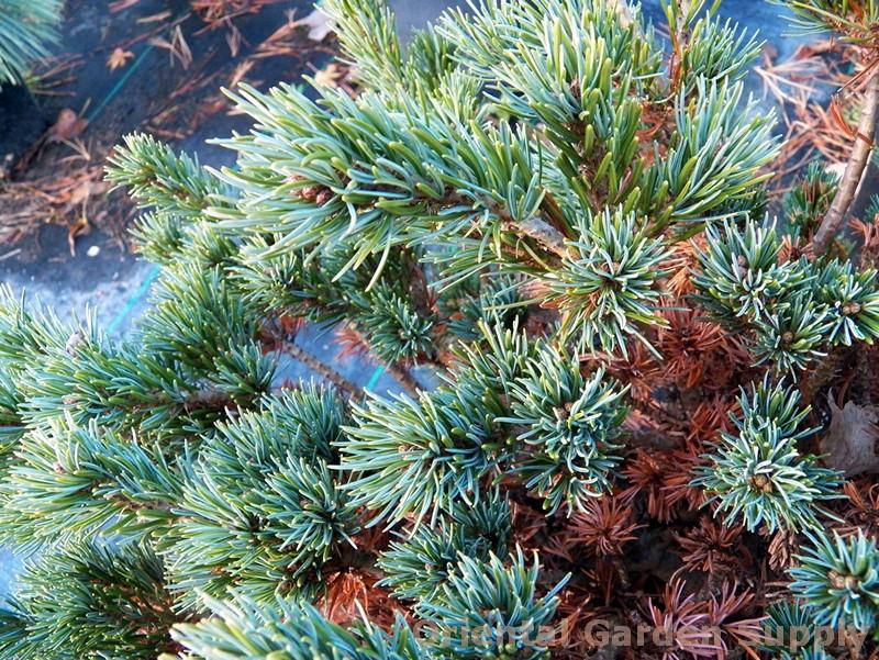 Pinus parviflora 'Miyoi'