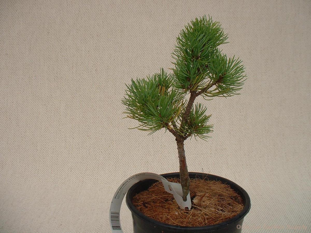 Pinus parviflora 'Pent. Kanrico'