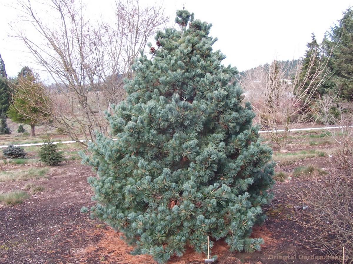 Pinus parviflora 'Peterson'