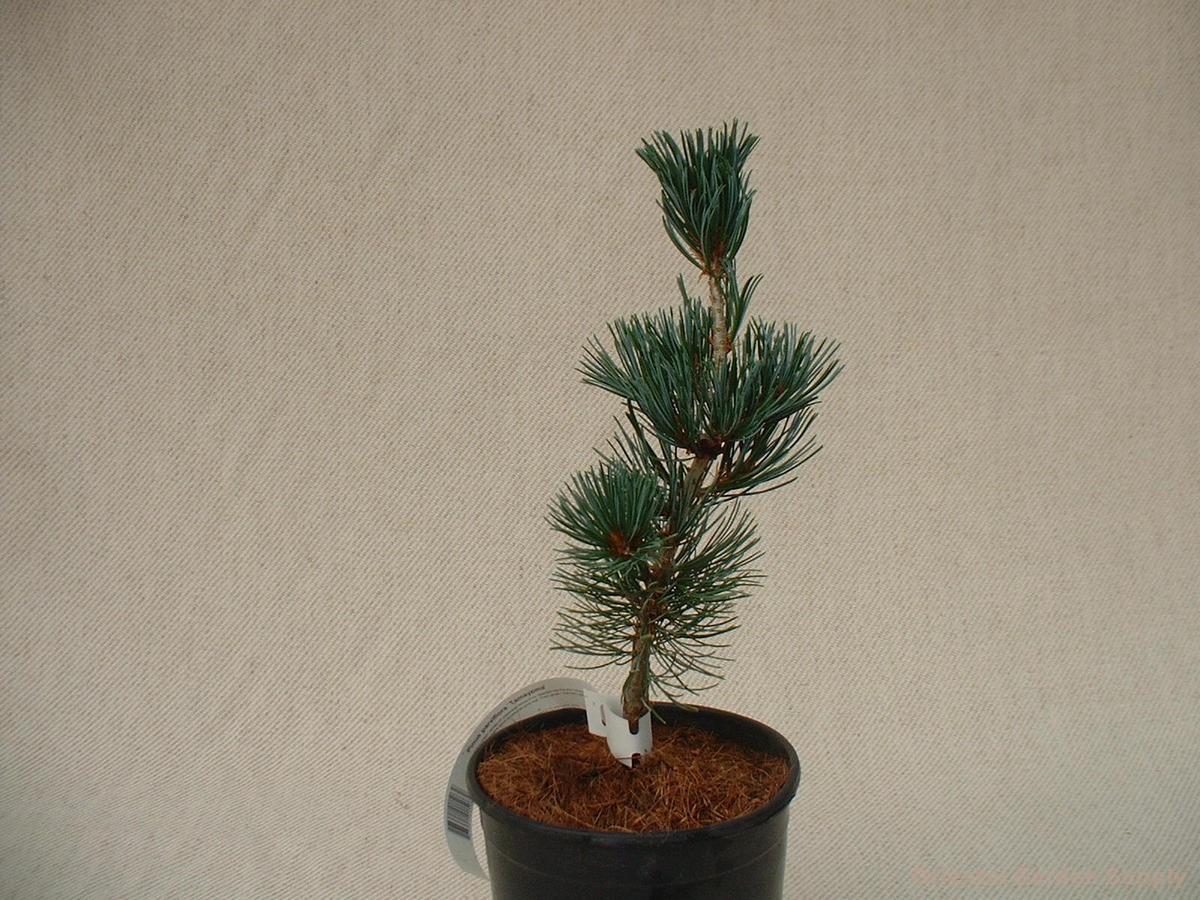 Pinus parviflora 'Tamayzima'