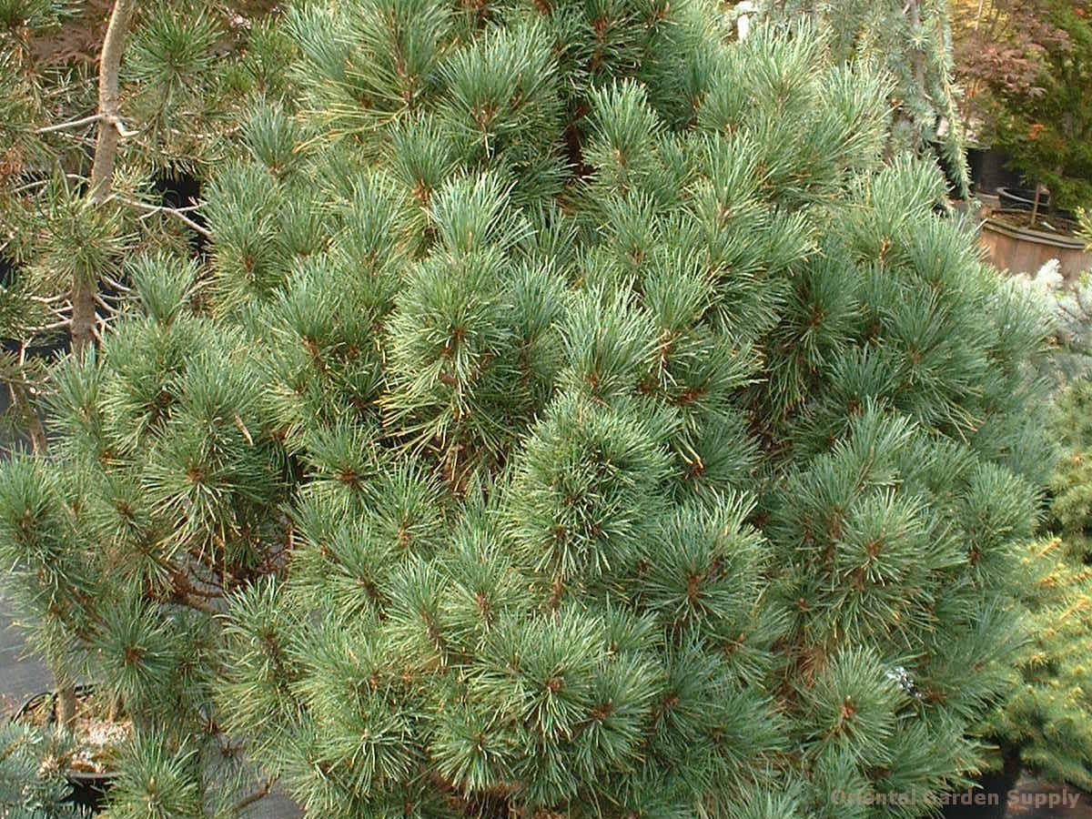 Pinus peuce 'Mrs. Cesarini'